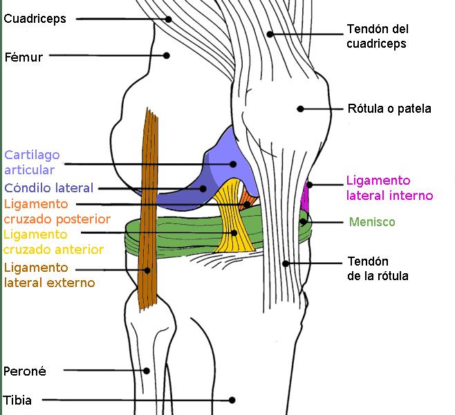 Anatomía de la rodilla ligamento cruzado anterior