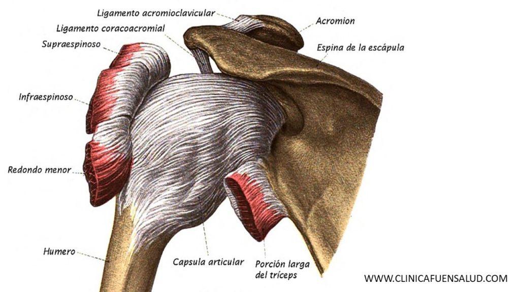 anatomía hombro