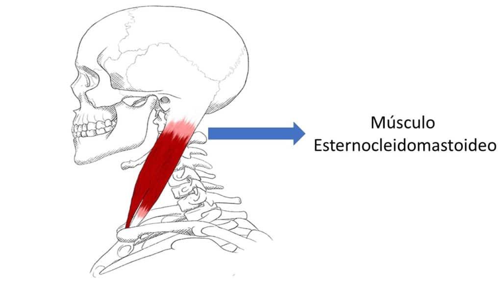 Músculo Esternocleidomastoideo por Clínica Fuensalud