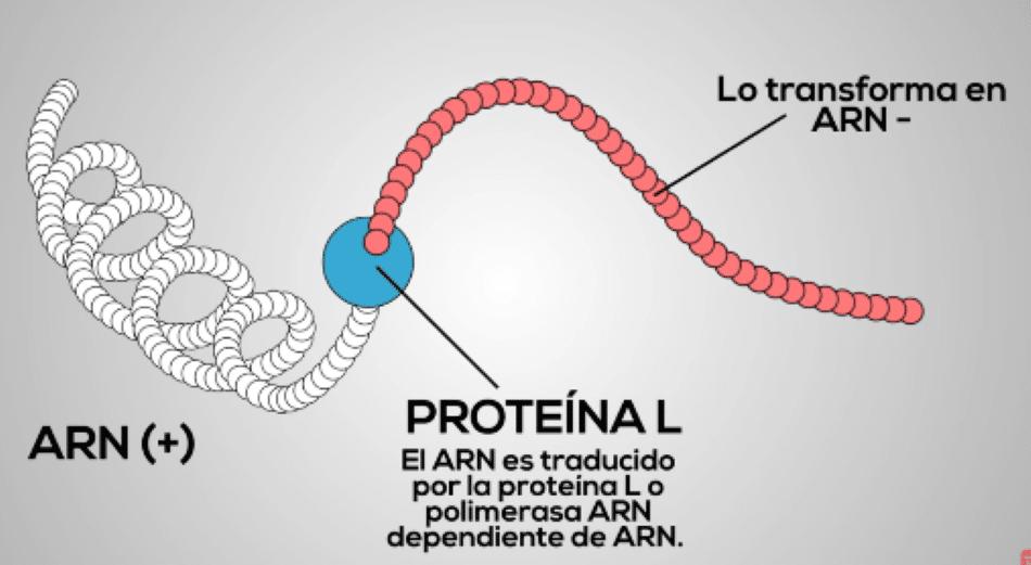Proteína L por Clínica Fuensalud