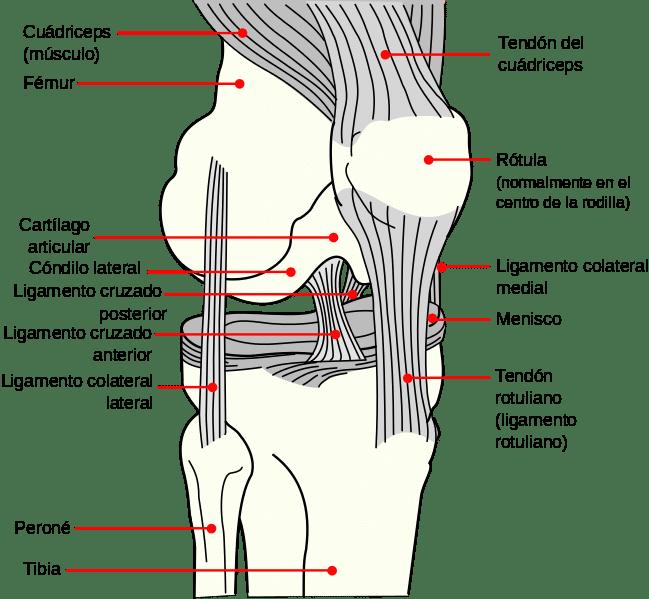 Anatomía de la rodilla por Clínica Fuensalud