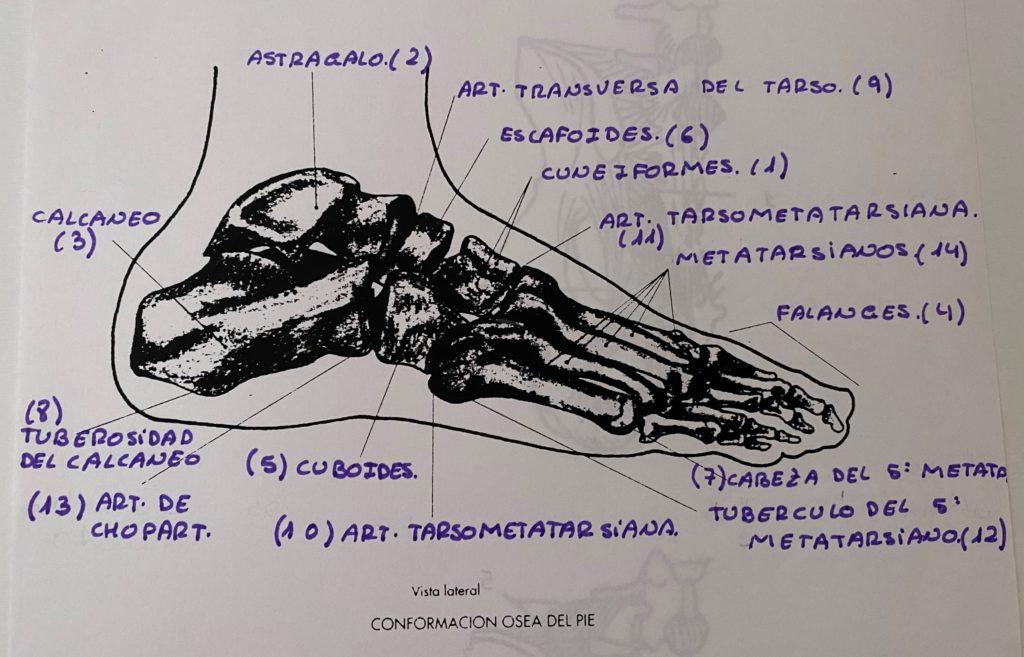Anatomía ósea del pie por Clínica Fuensalud
