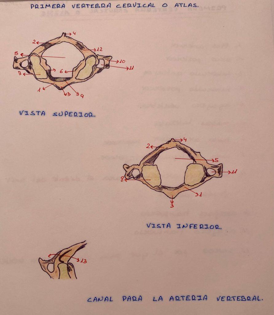 Primera vértebra cervical o Atlas artrosis cervical con Clínica Fuensalud